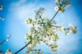 Blossoming branch of cherry tree — Stock Photo