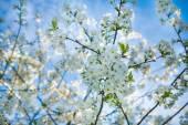 Blossoming apple tree — Stock Photo
