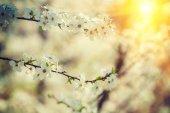 Flowers of cherry-tree — Stock Photo