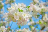 Little branch of blossoming apple tree — Stock Photo