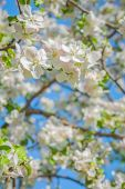 View on blossoming apple tree — Stock Photo