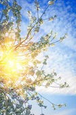 Translucent sun trough cherry tree — Stock Photo