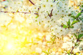 Blossoming of cherry — Stock Photo