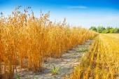 Field of oat — Stock Photo