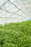 Potato in greenhouse — Stock Photo