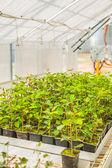 Plum tree seedlings — Stock Photo