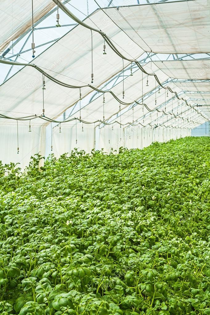 Выращивание зимой картофеля в теплице 54