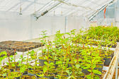 Growing of seedlings of plum tree in greenhouse — Stock Photo