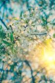 Blossoming branch of cherry tree at sunrise instagram stile — Stock Photo