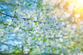 Blossoming of cherry tree instagram stile — Stock Photo