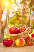 Fresh ripe apples in wicker busket and on wooden table in garden — Stock Photo
