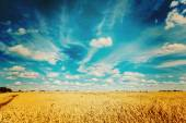 Ripe wheat field and blue sky instagram colors — Zdjęcie stockowe