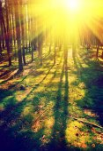 Beautiful sunrise in pinetree forest instagram stile — Stock Photo