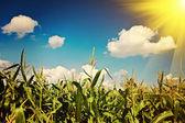 Sun over the corn plants instagram stile — Stock Photo