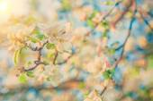 View on blossoming flovers of apple tree instagram colors — Stock Photo