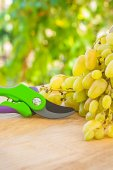 White grape and secateurs on wooden table in wineyard — Stock Photo