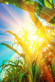 Plants of corn with translucent sun — Stock Photo