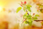 Blossoming branch of apple tree — Stockfoto