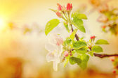 Blossoming branch of apple tree — Foto de Stock