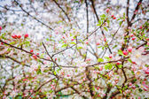 Blossom of apple tree — Foto Stock