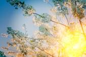 Blossoming branches of cherrytre — Stock Photo