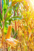 Plant of ripe corn — Stock Photo