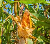 Ears of ripe corn — Stock Photo