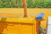 Pouring wheat grains — Stock Photo