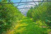 Green plum trees — Stockfoto