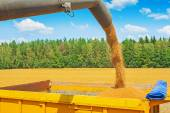 Pipe of combine with wheat — Stock Photo