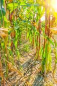 Rows of ripe corn — Stock Photo