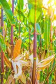 Ripe corn plants — Stock Photo