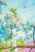 Blossoming  cherry tree — Stock Photo