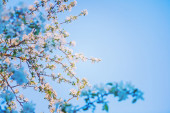 Blossom of apple tree — Stock Photo