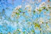 Flowers of blossoming cherry tree — Stock Photo