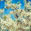 Blossom of cherry tree close up — Stock Photo #68235463