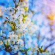 Blossoming flowers on twig of cherry tree — Stock Photo #68235523