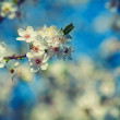 White flowers of blossoming cherry tree — Stock Photo #68236551