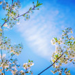 White flowers of blossoming cherry tree — Stock Photo #68237213