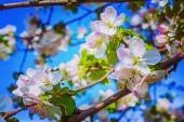 Apple tree flowers — Stock Photo
