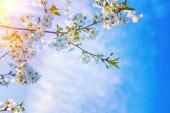 Big twig of cherry tree — Stock Photo