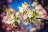 Blossom of apple tree close up — Stock Photo