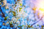 Blossoming flowers on twig of cherry tree — Stock Photo