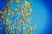 Cherry tree flowers on branches — Stock Photo