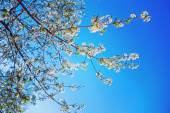 Blossoming branches of cherry tree — Stock Photo