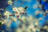 White flowers of blossoming cherry tree — Stock Photo
