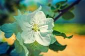 Single flower of apple tree — Stock Photo