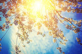 Sunriese through crone of blossoming cherry — Stock Photo