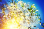 Branches of blossoming cherry tree — Stock Photo