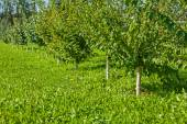 Young apple trees — Stok fotoğraf